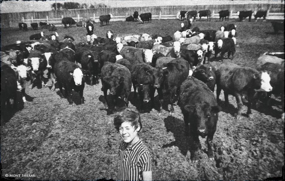 rahman-mont-cows-1